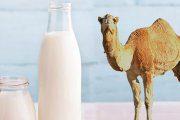شیر شتر و بیماری های گوارشی