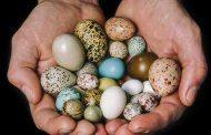 تخم کدام پرنده مفیدتر است؟