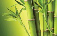 اثرات مفید بامبو بر سلامتی