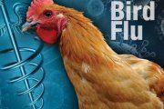 آنفلوانزای پرندگان، چه کسانی را تهدید می کند؟