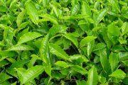 گیاهان ضد آلرژی