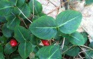 گیاهان دارویی مفید برای سه ماهه سوم