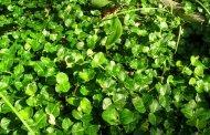 گیاهان دارویی مفید سه ماهه سوم گروه خون A